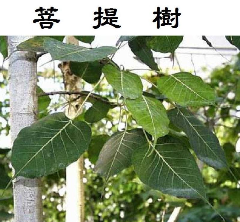 a-010菩提樹