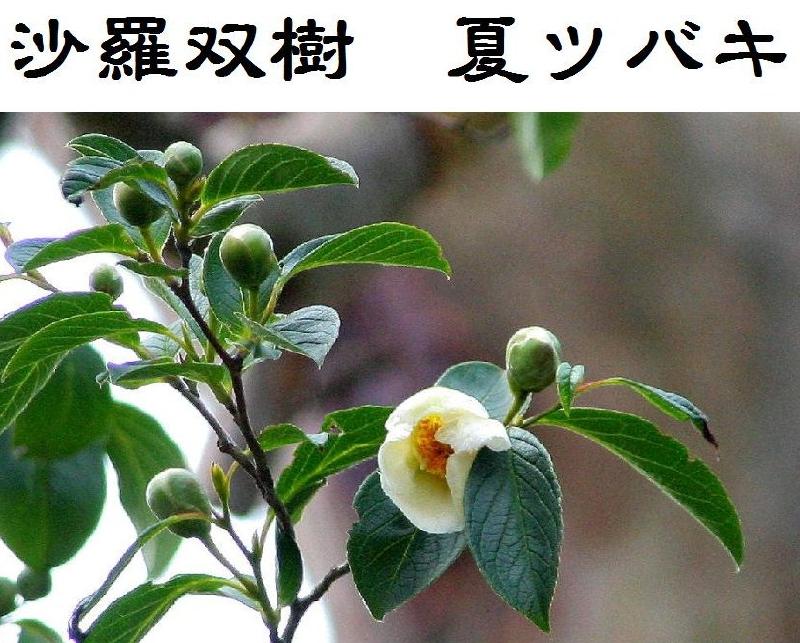 a-011沙羅双樹